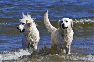 golden-retriever-1138309_1920 (2)